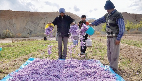 Photo of The first official statistics of saffron production in the new year