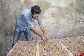 Photo of ادعاهای کذب برخی سودجویان درباره کشت گلخانه ای و سودآوری آن؛ زعفران گلخانه ای صرفه اقتصادی ندارد