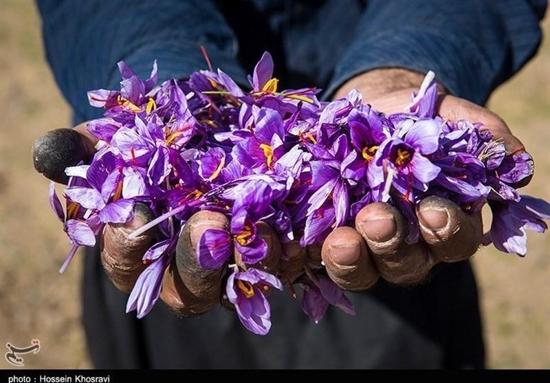 Photo of زعفران در دیار قائنات: مشکلات در تولید، رضایت از قیمت ها