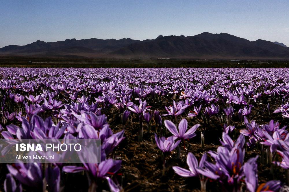 Photo of پیش بینی رشد 25 درصدی تولید زعفران در سال 98