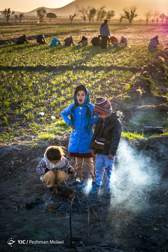Photo of برداشت و پاک کردن طلای سرخ در مه و سرما، کنار آب و آتش!