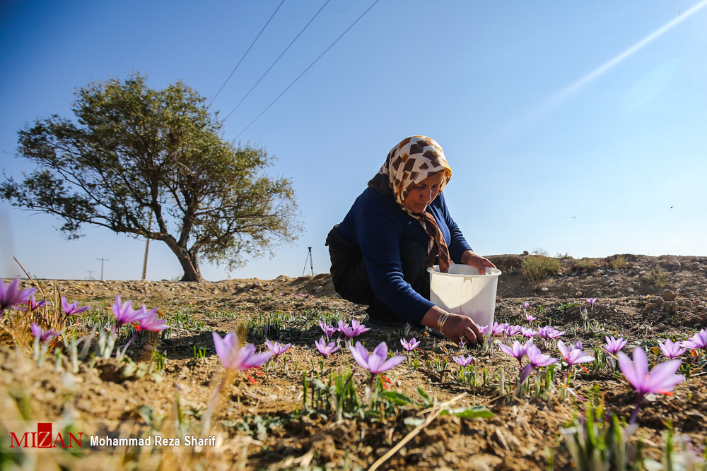 Photo of تحولات زعفران ؛شورای ملی زعفران قدرت می گیرد