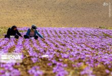 Photo of Eye-catching pictures of Iranian saffron farms these days