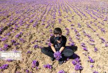 Photo of An Iranian MP claimed: The Ministry of Agriculture will start the agreed purchase of saffron in the coming days; 20% more than the current rate / 30% reduction in saffron production