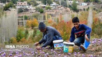 Photo of Photo report of saffron harvest in the morning on the slopes of the mountain