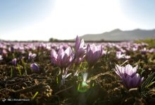 Photo of Beautiful pictures of saffron harvest in Iran